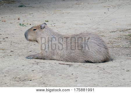 Capybara - Kapibara (Hydrochoerus hydrochaeris), the largest living rodent in the world poster