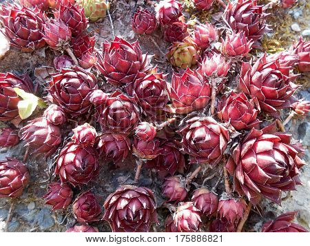 Decorative Ornamental Claret Cabbage Lies On Stone