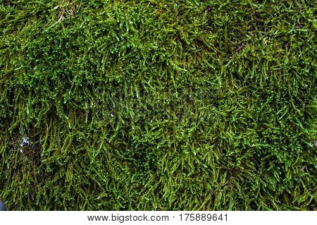 Green moss and lichen texture and background. Mossy wood background. Abstract texture and background for designers. Mossy texture. Closeup view of green moss and lichen.