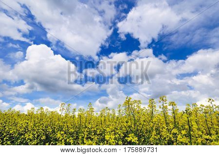 A close-up view of rapeseed field under dramatically overcast sky