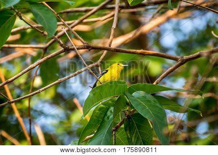 Bird (common Iora) On A Tree