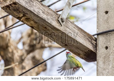 Bird (coppersmith Barbet) Flying About Hollow Wood