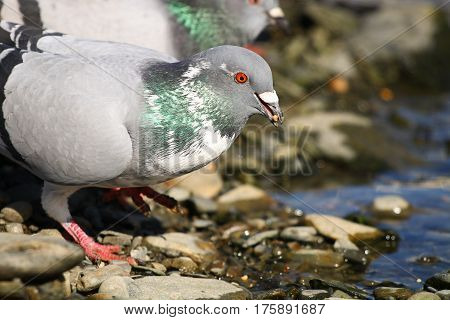 A feral pigeon with white feathers at the water's edge