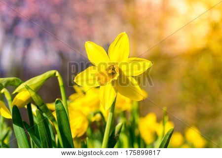 Spring awakening in the morning. Daffodils in spring. Spring Flowers. Yellow Flowers. Flowering daffodils. Blooming yellow narcissus flowers. Selective focus.