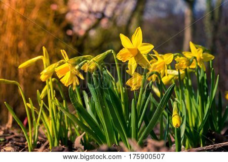 Yellow daffodils in spring. Daffodils in spring