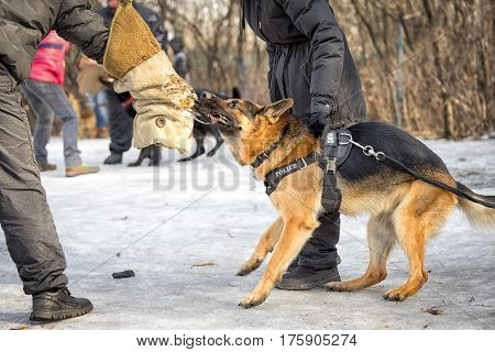 Eastern European Shepherd growls and prepares to attack a criminal during the training course.