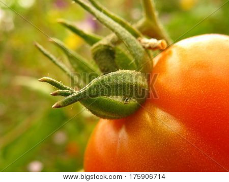 Close-up of a ripe red tomato growing in a vegetable patch