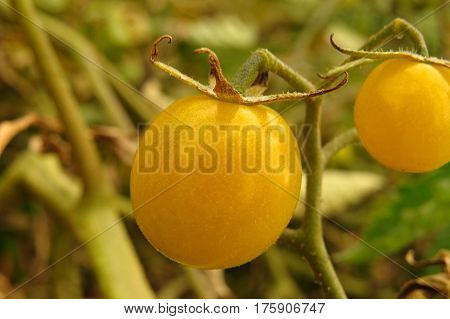 Close-up of a ripe yellow cherry tomato growing in a vegetable patch