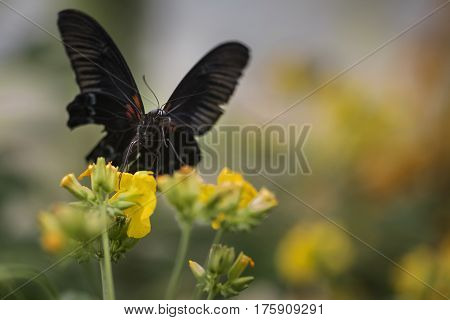 Stunning Scarlet Swallowtail Butterfly On Bright Yellow Flower With Other Butterfly Flying In Backgr