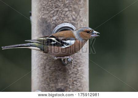 Beautiful Chaffinch Fringilla Coelebs On Garden Bird Feeder