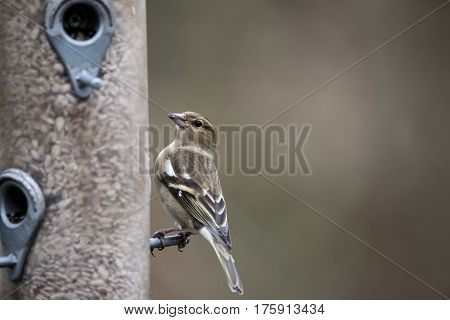 Beautiful Female House Sparrow Passer Domesticus On Bird Feeder