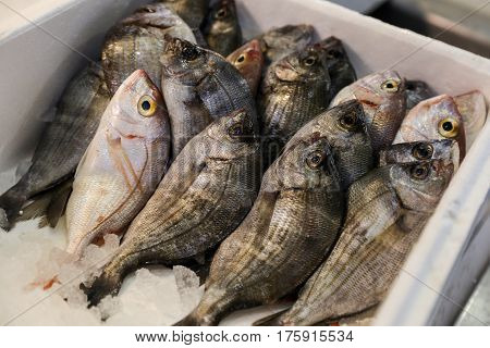 Sea bream or Sargo fishes on ice for salle in the greek fish. Sea bream fishes on ice for sale. Horizontal. Close.