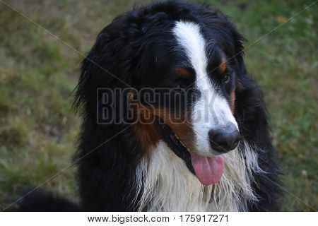 Large fluffy but damp Bernese mountain dog.