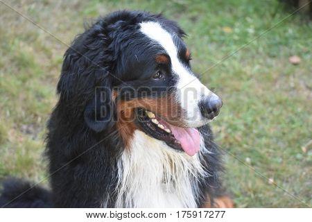 Adorable face of a Bernese Mountain dog posing.