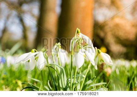 Snowdrops in spring. Snowdrops. Flowers in spring
