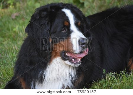 Curled pink tongue on a Bernese Mountain Dog.