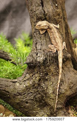 An Agama in a garden sitting on a tree