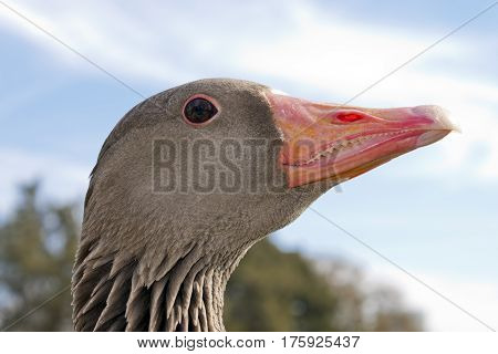 Wild goose waterfowl head with red beak outdoors