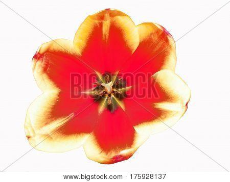 Прекрасный красный тюльпан раскрыл свои лепестки для любимой женщины
