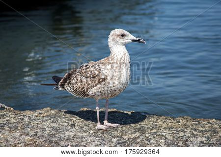 A young yellow-legged gull is sitting on a rock near the sea