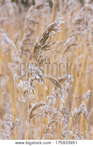 Common reed in icy cold winter. Frosty straw. Freeze temperatures in nature. Snowy natural environment background