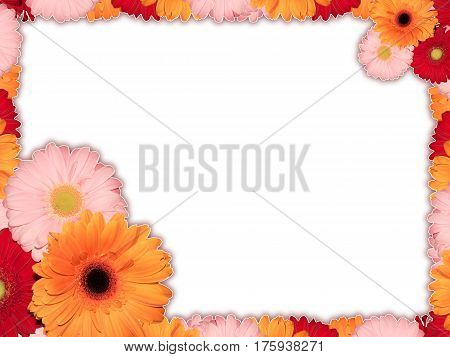 Greeting card with multicolored transvaal daisy flower on a white background for congratulations