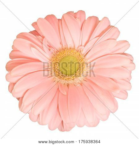 Pink transvaal daisy flower gerbera on white background