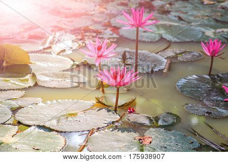 pink lotos on the water in sri lanka. sunlight