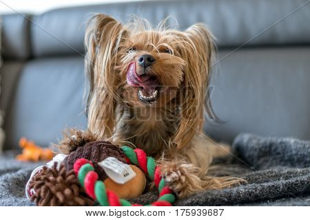 Yorkshire terrier is playing with a toy