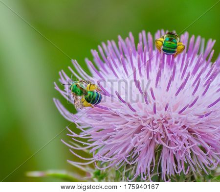 two iridescent green bees on a purple thistle flower with filled corbicula