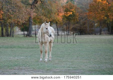 A palomino horse named Mr. Ed standing at attention in the pasture