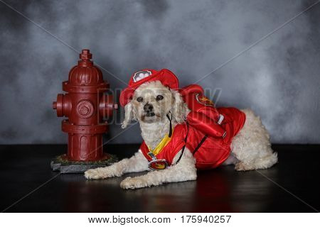 White poodle dog dressed in a fireman uniform with a fire hydrant