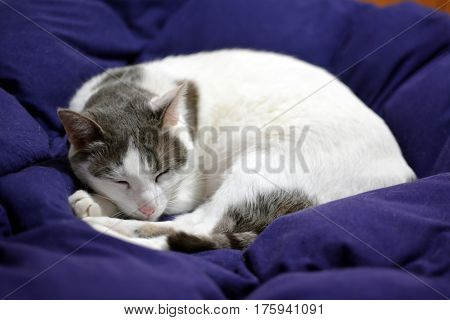 White domestic cat sleeps on a blue veil