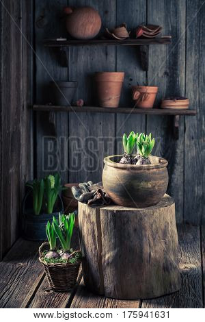 Repotting A Green Crocus In An Old Wooden Shed