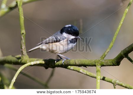 Coal tit (Periparus ater) on branch. Small woodland bird in the family Paridae perching showing small beak adapted to collect seeds