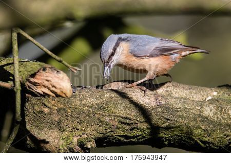 Nuthatch (Sitta europaea) hunting for insects. Colourful woodland bird in the family Sittidae with beak open hunting for insects on bark of tree