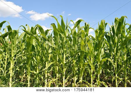 Close up of cornfield in the summer