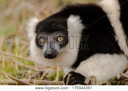 Black-and-white ruffed lemur (Varecia variegata) on ground. Critically endangered lemur endemic to the island of Madagascar and the largest extant member of the family