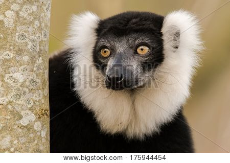Black-and-white ruffed lemur (Varecia variegata) portrait. Critically endangered lemur endemic to the island of Madagascar and the largest extant member of the family