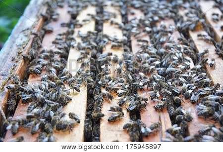 Close up on Honeycomb in the beehive with bees and honey