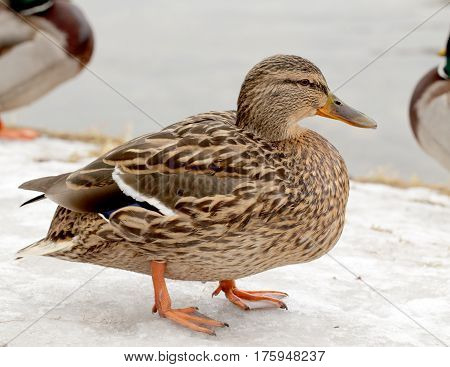 Wild Duck On The Snow