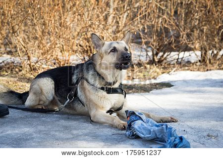 Shepherd Dog  Laying On The Snow And Guarding The Rag During The Dog Training Course In Dogschool