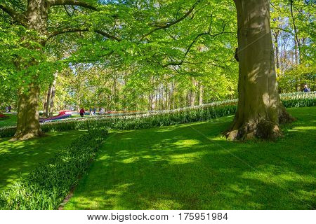 Lisse, Netherlands - May 7, 2016: Keukenhof park in Netherlands. Flower bed of colourful tulips in the Keukenhof park, Netherlands. A grassy lawn with green grass in the park. Shady place in the park.