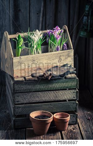 Young Spring Flowers In An Old Wooden Workshop