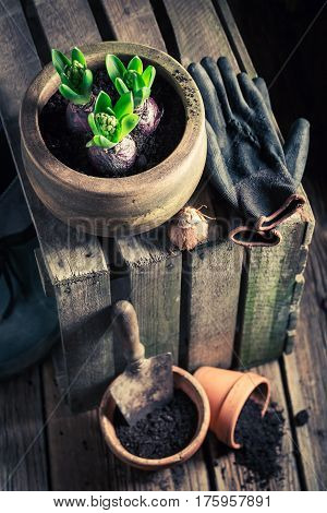 Freshly Grown Green Crocus In An Old Wooden Shed