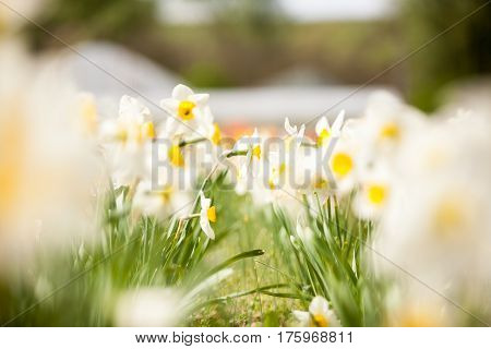 Beautiful White Flowers In The Field