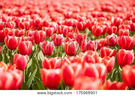 Red Gorgeous Flowers In The Field