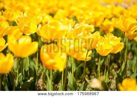 Gorgoeus Yellow Flowers In The Field