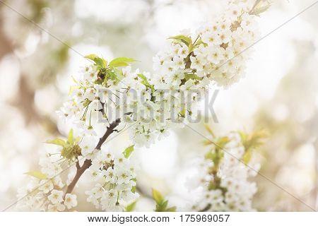 Tree flowers in blossom in garden outdoor