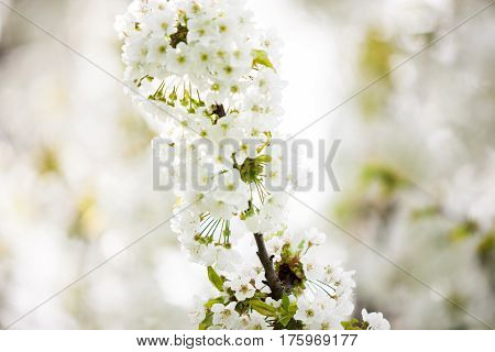 Tree Flowers On Branches Blossoming